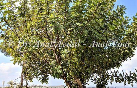 חרוב מצוי: עץ ים-תיכוני חובב חום