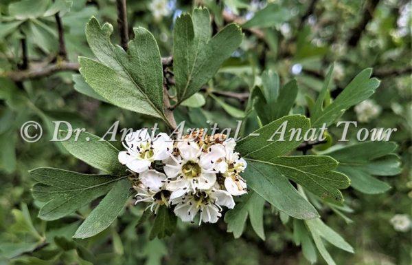 עֻזְרָר קוֹצָנִי: עץ קטן בחורש הישראלי עם פרחים לבנים באביב