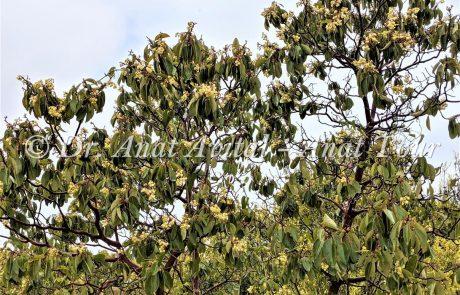 קְטָלָב מָצוּי: עץ חורש ים תיכוני עם פריחה לבנה באביב