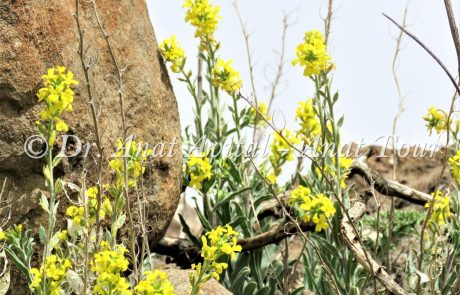 משקפיים מצויים: פריחה צהובה בחורף בצפון