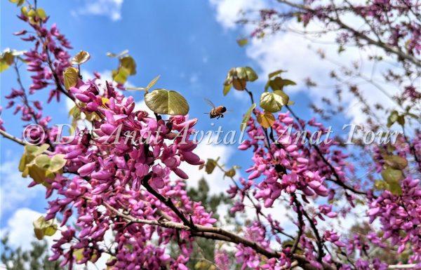 כְּלִיל הַחֹרֶשׁ: העץ שכולו פורח בוורוד זוהר באביב