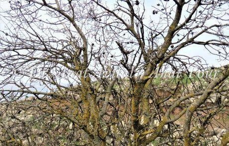 אלה אטלנטית: עץ נשיר גדול, עם עפצים בצורת אלמוגים