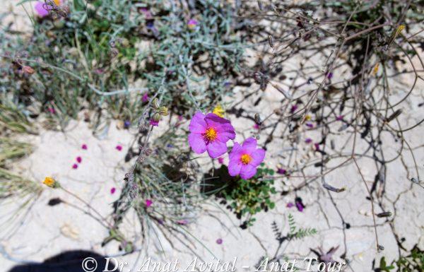 שִׁמְשׁוֹן הָדוּר: פריחה ורודה מפתיעה באביב בנגב ובדרום הארץ