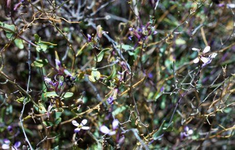 מוֹרִיקָה מַבְרִיקָה (מוריקנדיה מבריקה): פריחה ורודה בחורף ובאביב במדבר