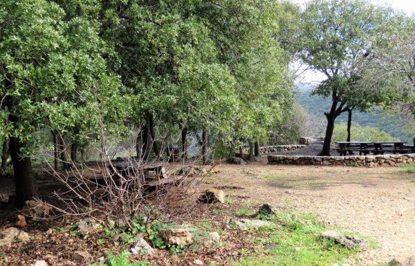 אַלּוֹן מָצוּי: עץ ירוק עד בחורש הים תיכוני