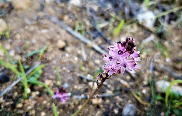 בֶּן חָצָב סִתְוָנִי: פריחה סגולה בסתיו