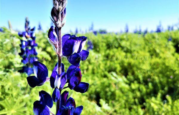 טיול פריחה יפה באביב לתל שוכה – גבעת התורמוסים בעמק האלה: ים של פרחים בכל הצבעים