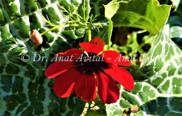 דְּמוּמִית אֶרֶץ-יִשְׂרְאֵלִית (ארם-צובא): פריחה אביבית אדומה בצפון הארץ