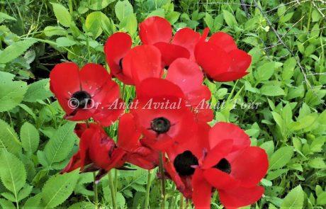נוּרִית אַסְיָה: פריחת אביב אדומה מהצפון ועד לדרום