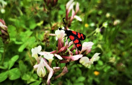 ססמבריק אדום: פרפר אביבי קטן ויפיפה, שחור עם כתמים אדומים
