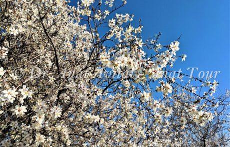 שָׁקֵד מָצוּי: פריחת שקדיות בחורף בארץ אהבתי – איפה רואים שקדיות?