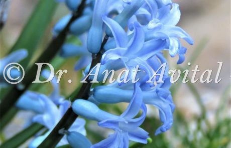 יקינטון מזרחי: עמוד תפרחת נמוך ונסתר בצבע תכול, פרח רייחני מהיפים בצפון