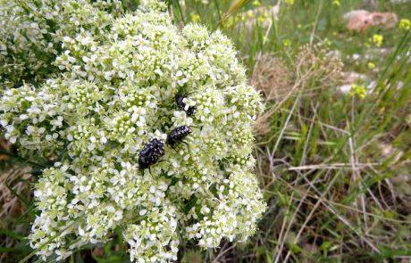 קרדריה מצויה וחיפושיות פרחית נעמי מטיילות על הפרחים באביב