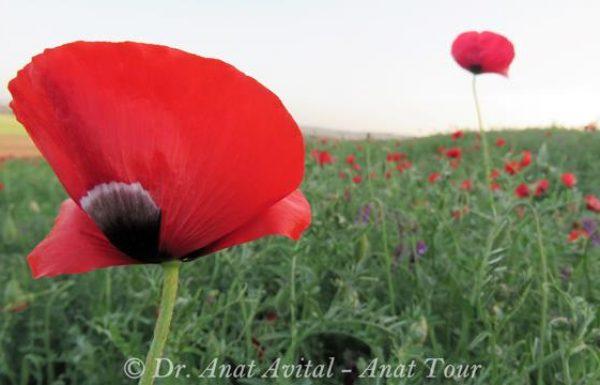 פרג אגסי (אגסני): טיולי פריחה אדומים באביב