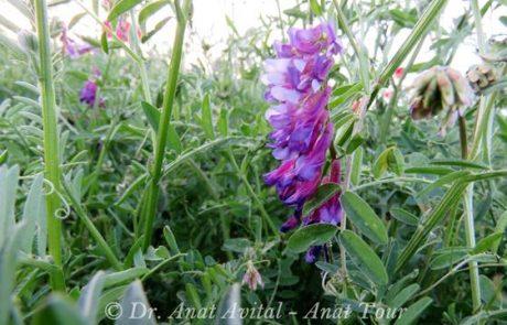 בִּקְיָה אַרְגְּמָנִית – פריחת אביב סגולה-ארגמנית בעיקר בשדות מעובדים