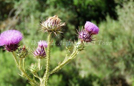 חוֹחָן אֶרֶץ-יִשְׂרְאֵלִי: פריחת קיץ סגולה וקוצנית
