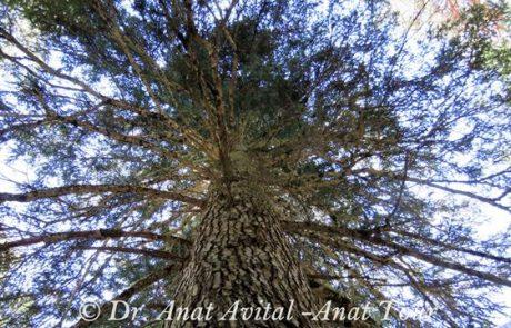 אשוח כסוף- Silver Fir- Abies alba