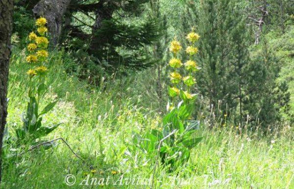 עַרְבָּז צהוב ענק: פריחת קיץ בהרי הפירינאים ואירופה Great Yellow Gentian
