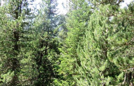 אורן שחור Pinus uncinata