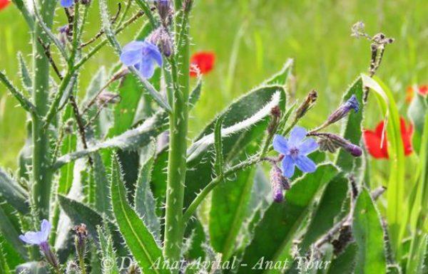 לשון פר סמורה: פריחת חורף סגולה-כחולה (או מופע לבן)
