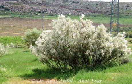 רותם המדבר: פריחת חורף לבנה עם ריח מטריף חושים