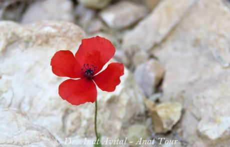 פָּרָג נָחוּת: פרג אדום קטן שפורח במישור החוף ובספר המדבר