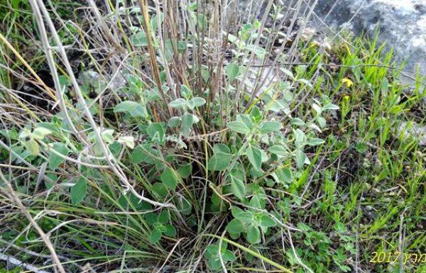 זוּטָה לְבָנָה: טעם וריח מנטה עדין ומשובח לתה צמחים