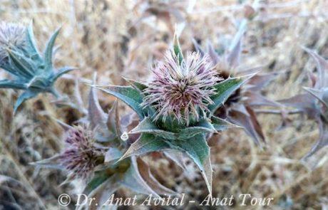 קֻרְטָם מַכְחִיל: קוץ, פורח בקיץ בסגול בצפון ובבקעת הירדן