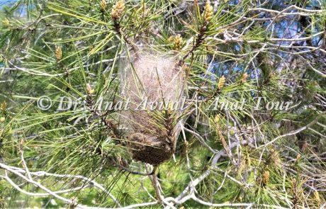 תהלוכן האורן (טוואי התהלוכה): זחלים עם שערות צורבות ומסוכנות ביערות האורן