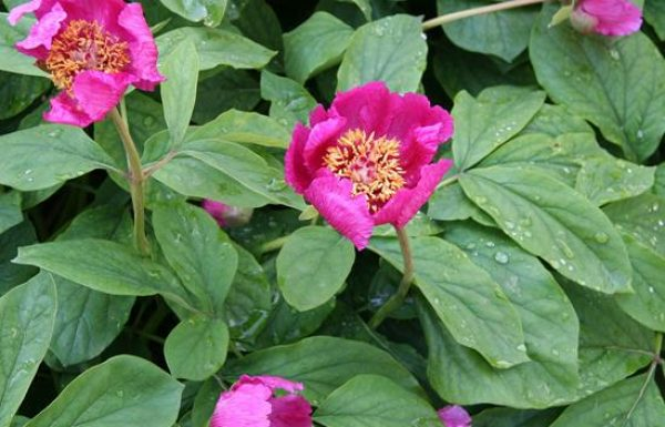 אַדְמוֹנִית הַחורֶשׁ בהר מירון בית ג'ן: פריחה אביבית שמשגעת מדינה שלמה