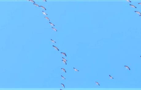 עגור אפור בנדידת אביב מעל מרכז הארץ: הי צפונה!